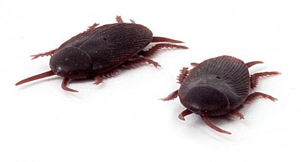 Kakerlaken, 2 Stk
